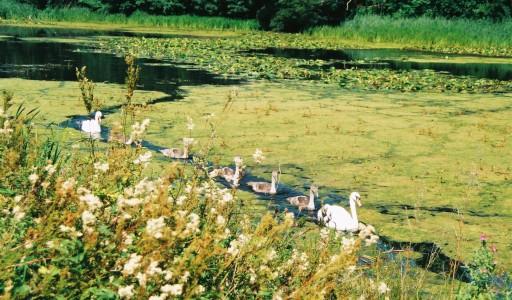 Swan family Howick
